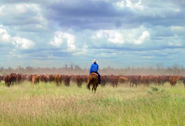 AACo cattle